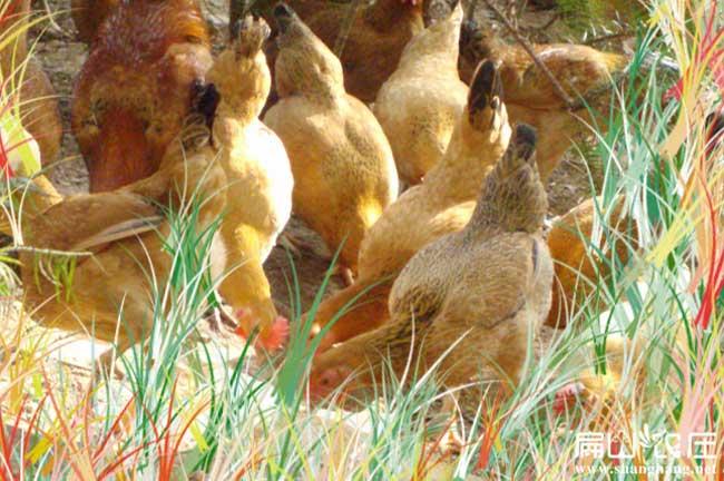 大理最大的生态土鸡养殖基地