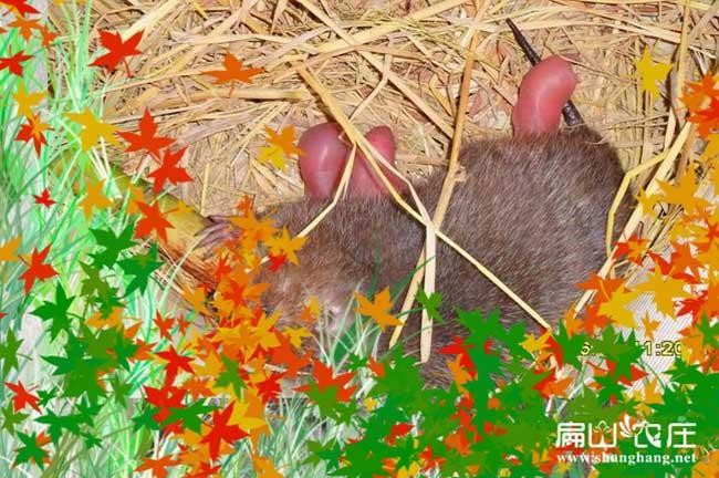 贵港银星竹鼠养殖基地