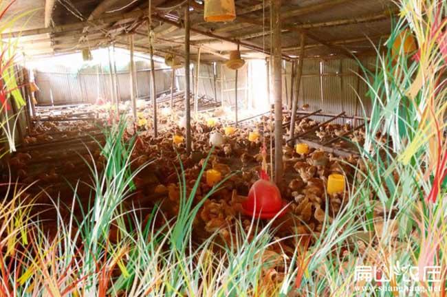 怀化最大生态土鸡养殖基地