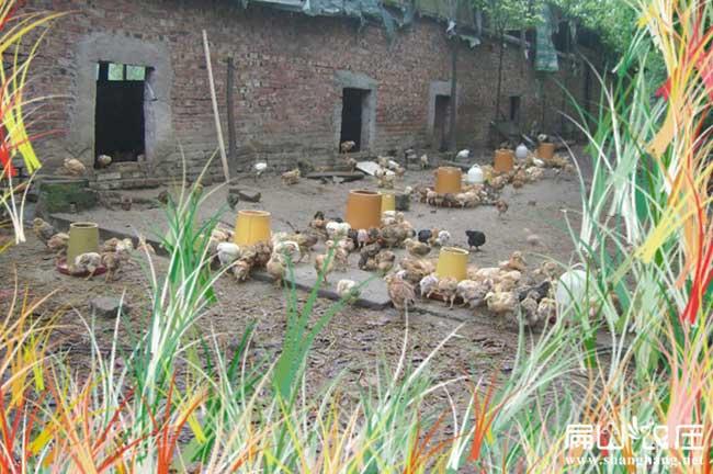 岳阳最大的土鸡养殖基地