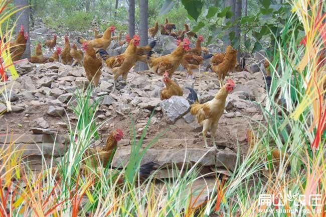 娄底散养土鸡养殖基地