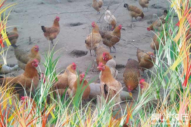 瑞丽纯生态土鸡养殖
