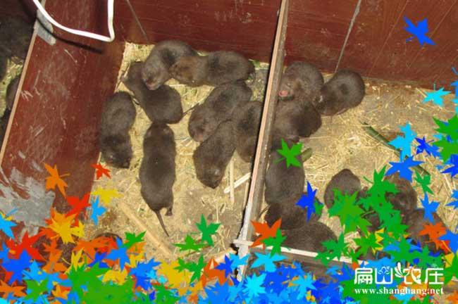诸暨中华竹鼠养殖基地