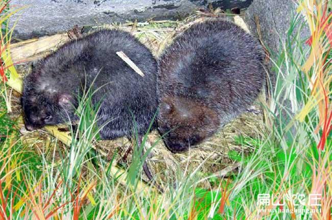 竹鼠感冒中草药土方法