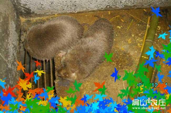 莲湖银星竹鼠养殖基地