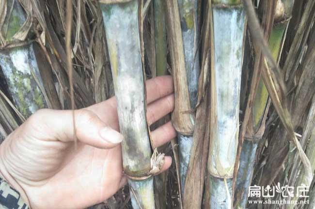 竹鼠运输放黄竹草