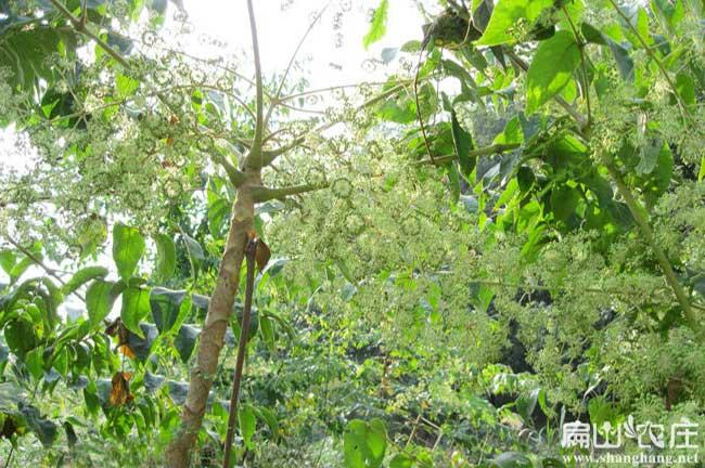 绵竹呀鸭架木种植