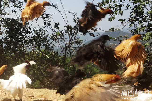 三最大的散养土鸡养殖