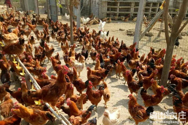 龙岩散养土鸡养殖基地
