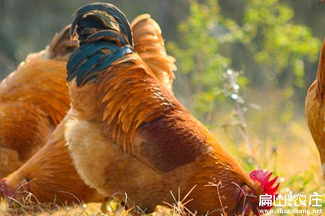 中国最大的公鸡养殖基地