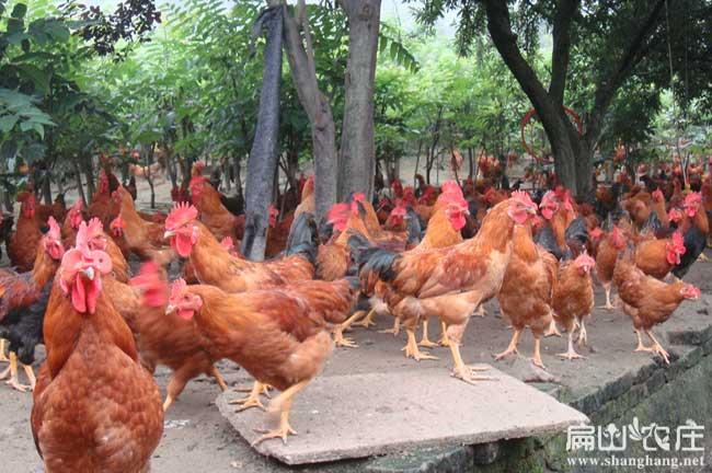 散养公鸡的分类