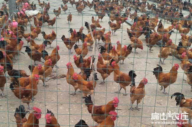 湖南散养土鸡养殖