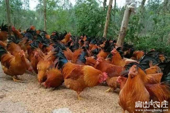 中国最大红公鸡养殖基地