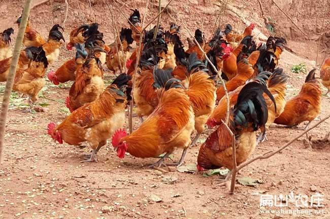 养殖生态土鸡的最新方法