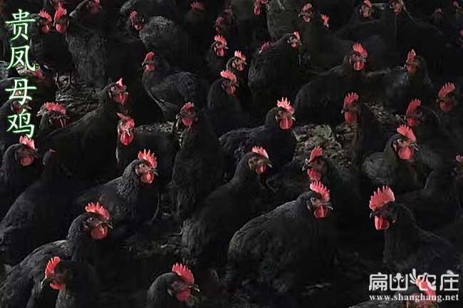 南宁乌鸡孵化基地