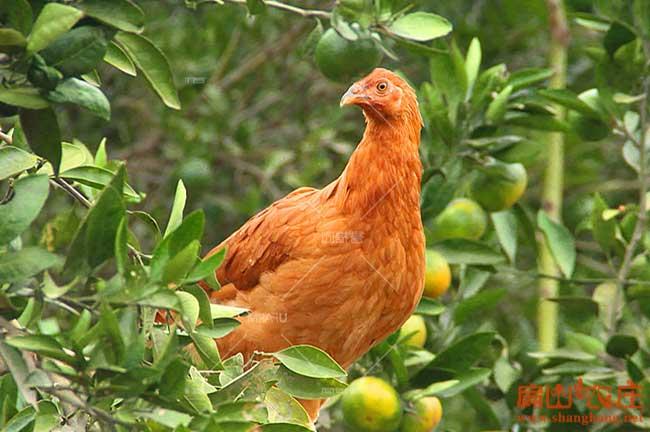 贵港生态土鸡养殖基地