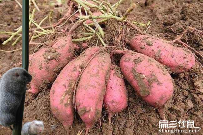 竹鼠吃红薯