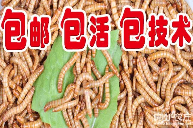 泉州黄粉虫养殖基地