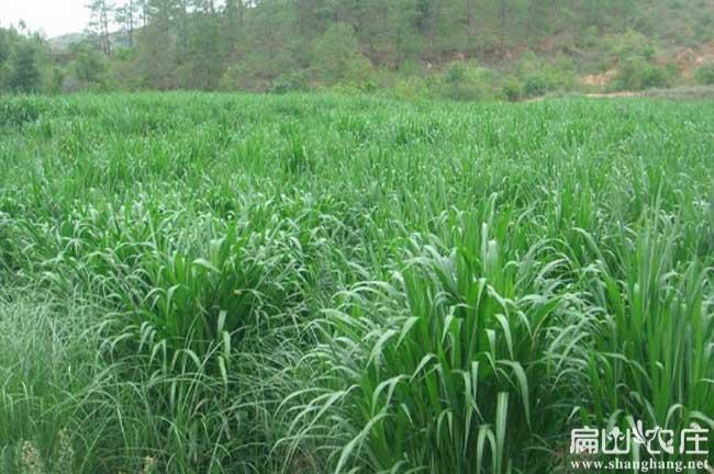 广元皇竹草种植