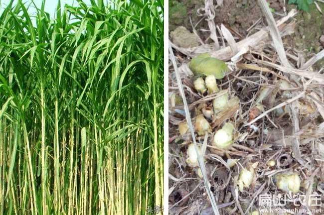 衡阳皇竹草种植