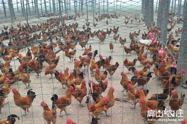 广州农科院土三母孵化场