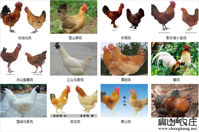散养土鸡的分类