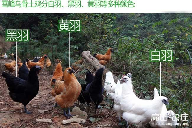 中国最好的土鸡品种