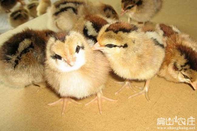 福建土鸡苗孵化基地