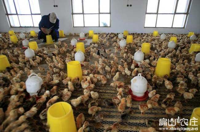 钦州土鸡苗养殖基地