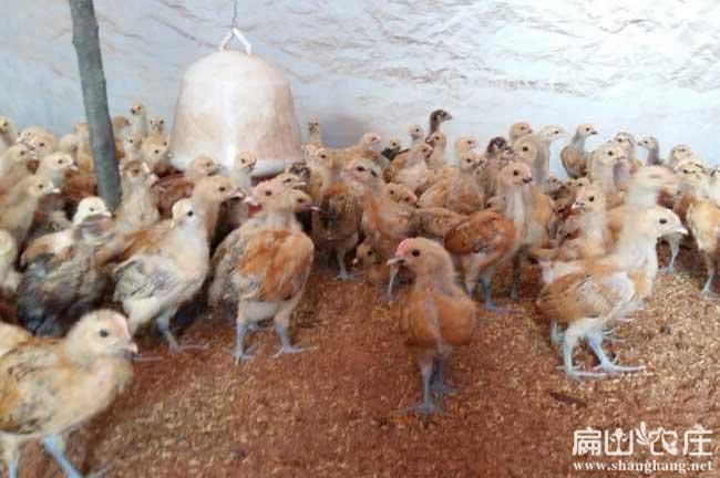 百色最专业的土鸡苗孵化基地