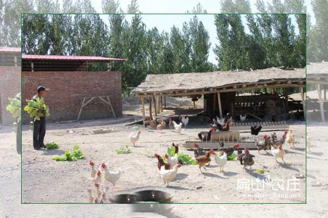 广元土鸡养殖基地