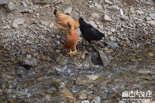 南安五黑绿壳脱温鸡苗南安孵化基地