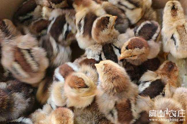 剑阁土鸡苗孵化基地