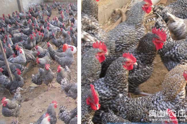南宁珍珠鸡批发市场