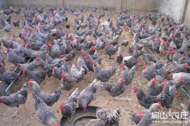 散养土鸡养殖基地