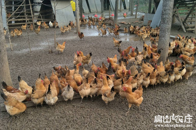 农村最大中的散养土鸡基地