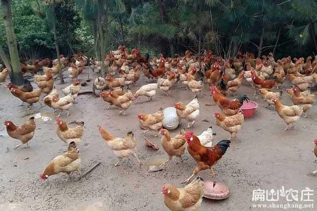 解决竹林散养土鸡问题