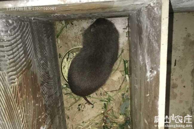 竹鼠种苗多大合适?