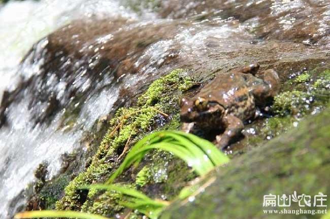 井水能养石蛙吗?