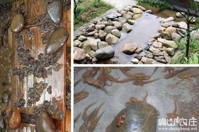 厦门石蛙养殖基地