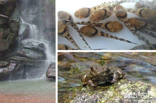 石蛙蝌蚪养殖基地