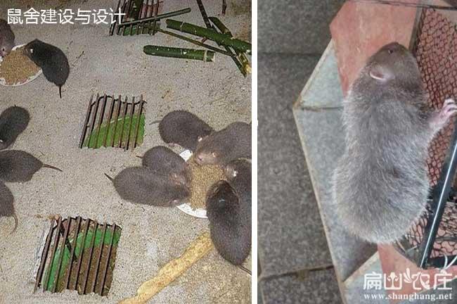 雷山竹鼠养殖