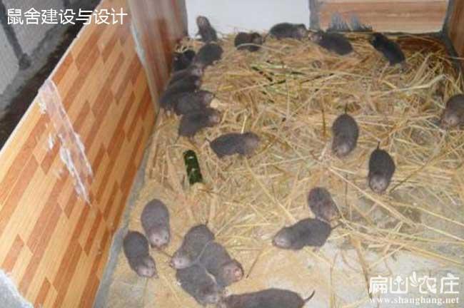麻江竹鼠养殖