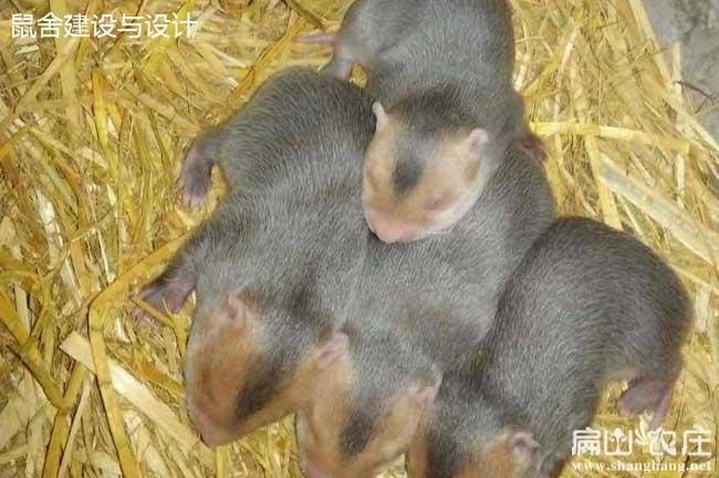 红颊小竹鼠种苗