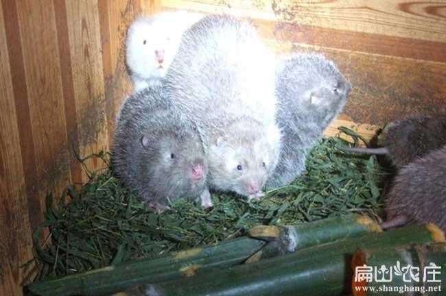 中国创业养殖竹鼠