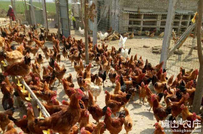 贺州生态土鸡养殖基地