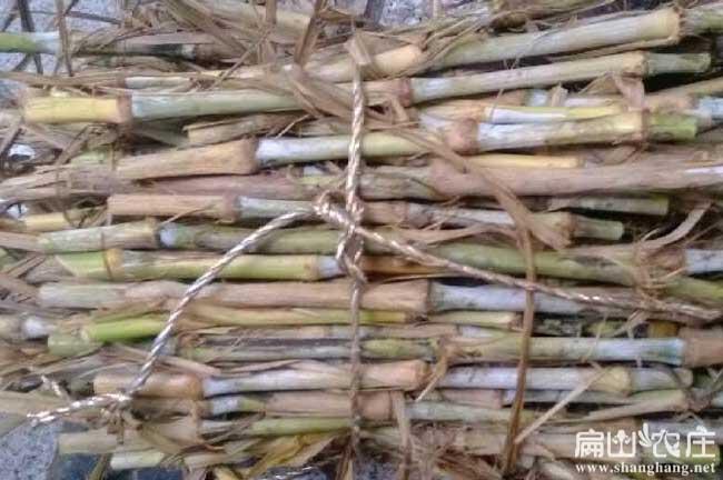 竹鼠吃黄竹草