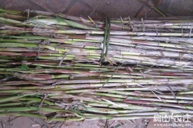 柳州兔子黄竹草