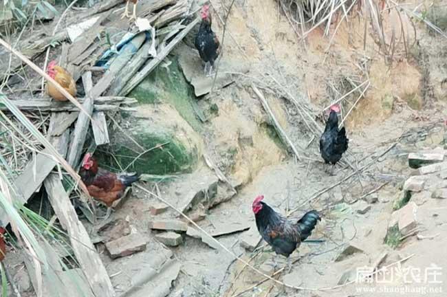 绵阳散养土鸡养殖基地