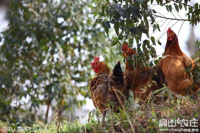 中国最大的芦花鸡养殖基地
